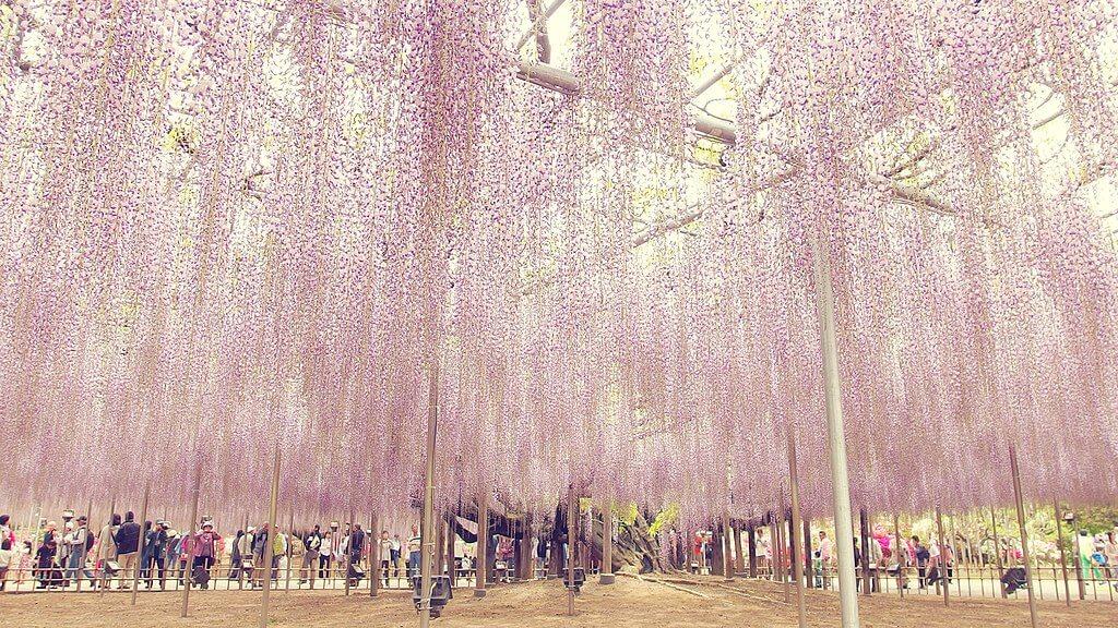 צמח ויסטריה הגדול ביותר ביפן