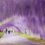 הליכה צבעונית: מנהרת ויסטריה בגני קוואצ'י – Kawachi Wisteria Garden