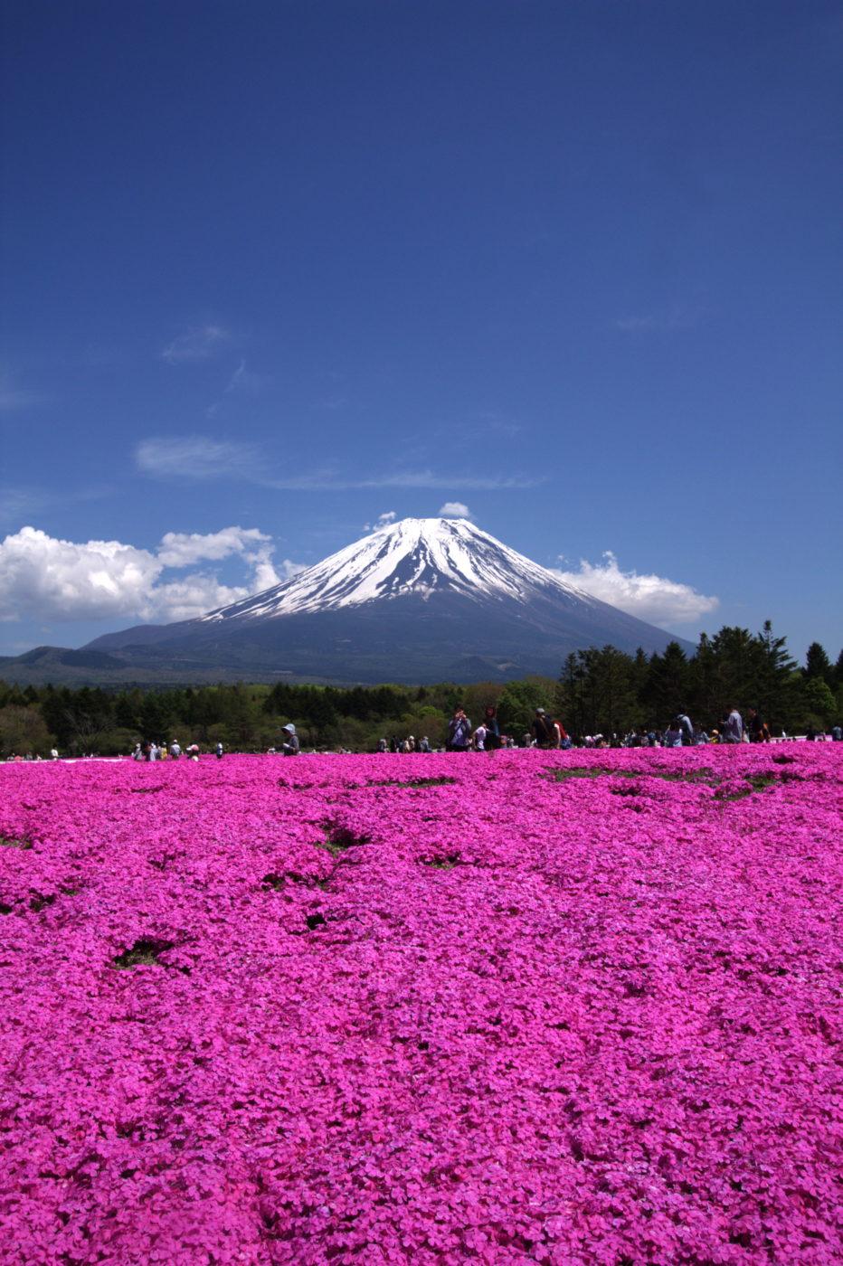 פסטיבל פוג'י שיבאזאקורה – 13 באפריל ועד 26 למאי