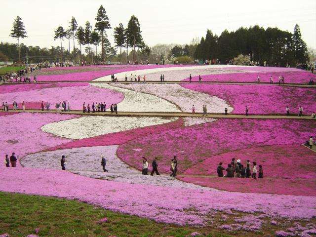 גבעת שיבזאקורה בפארק היצוג'יאמה – 12 באפריל עד 6 במאי