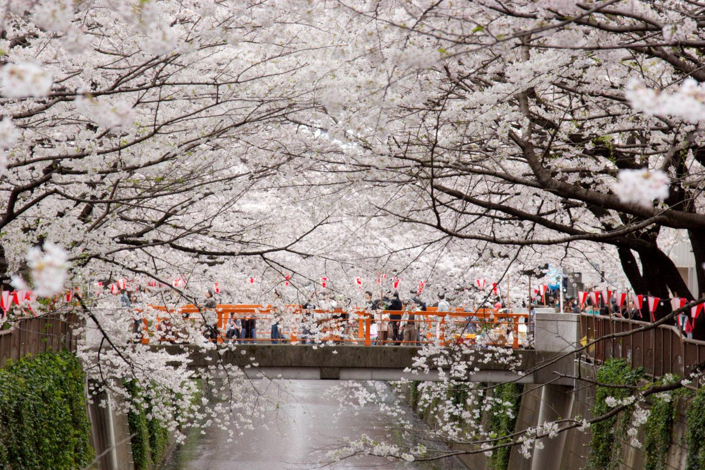 פסטיבל נאקאמגורו סאקורה מאצ'ורי – 7 אפריל