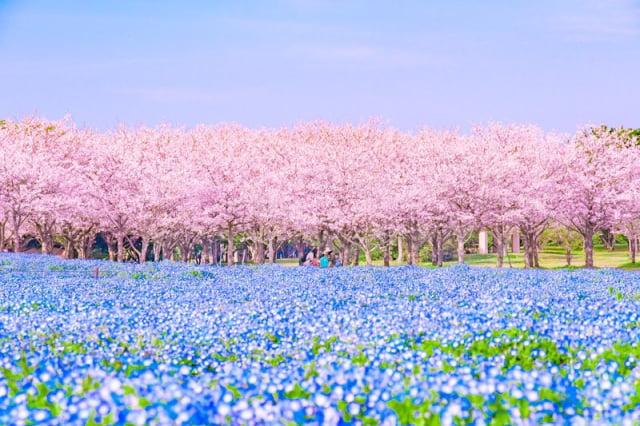 תמונות מדהימות של עונת סאקורה ביפן